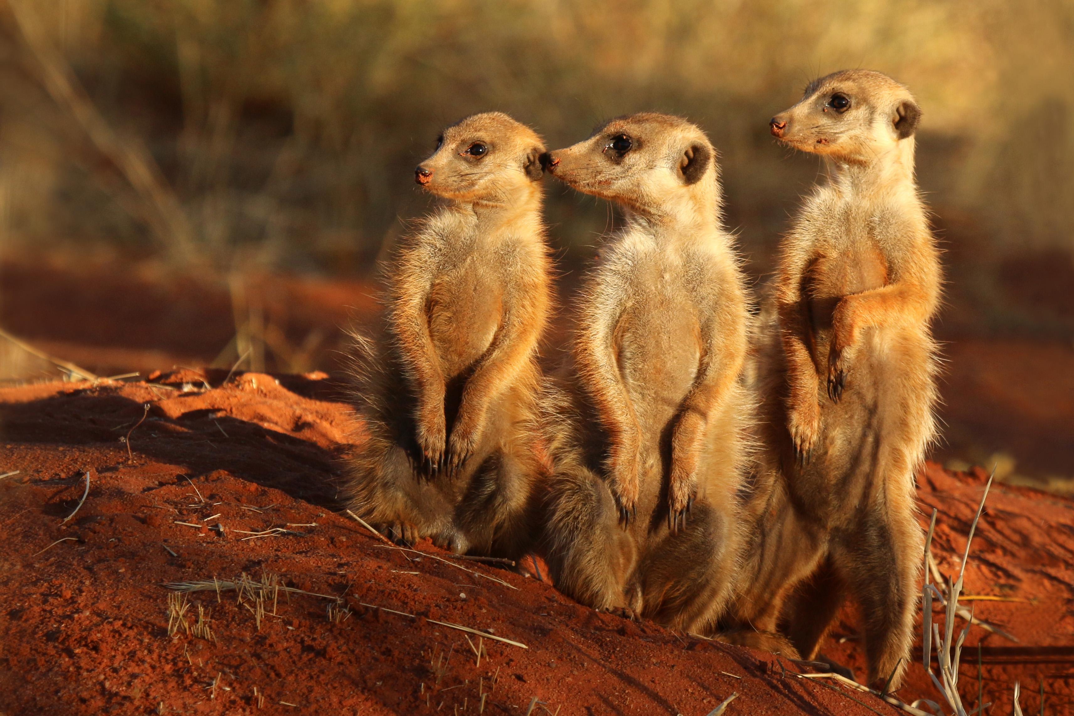 Meerkat_(Suricata_suricatta)_Tswalu