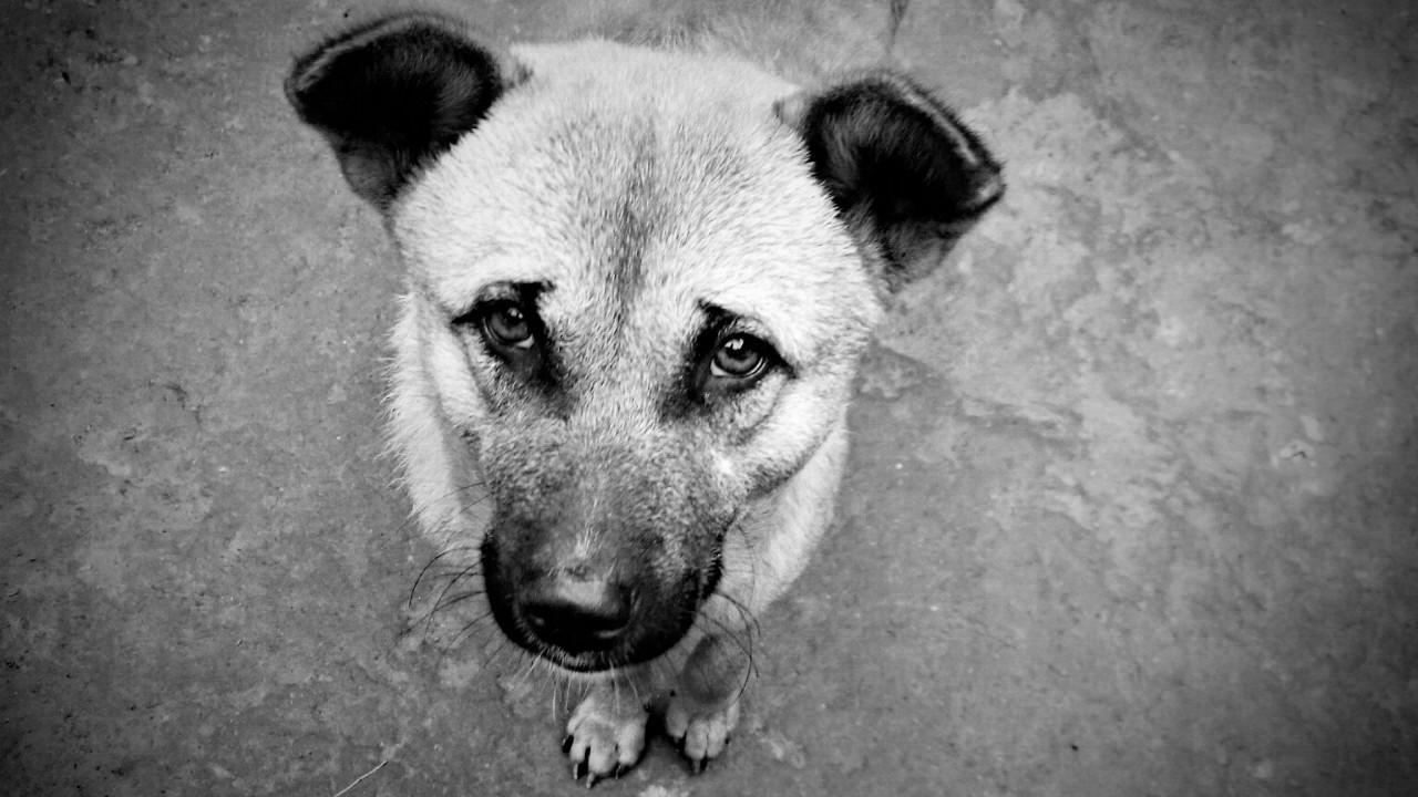 Hungry-Dog-ক্ষুদ্ধার্ত-কুকুর