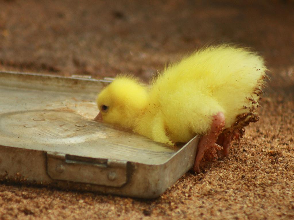 duck oops
