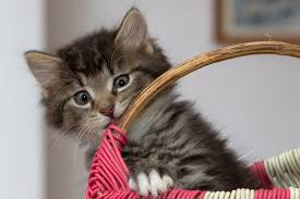 basket kitten